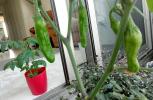 【毎日の癒し♥】ベランダでできる家庭菜園