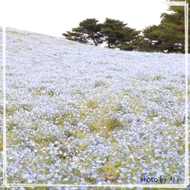 お花を見に行って来ました①~ひたち海浜公園~